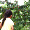 果物農家 白山園 山梨 甲州 さくらんぼ狩りなら白山園